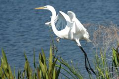 Majestic Egret Stock Photo