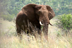Majestic elephant. In the Pilanesberg Reserve near Sun City (South Africa Stock Images
