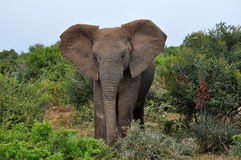 Majestic elephant walking towards me Royalty Free Stock Images
