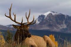 majestic elk Zdjęcie Royalty Free