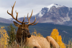 Majestic Elk Stock Photography