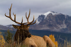 Majestic Elk Royalty Free Stock Photo