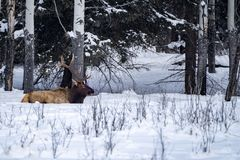 Majestic elk sits in the snow in an open snowy meadow along the Bow Valley Parkway in Baff National Park Alberta Canada. Majestic elk sits in the snow in an open stock photography
