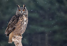 Majestic Eurasian Eagle-Owl. A Eurasian Eagle Owl (Bubo bubo) sitting a perch with snow falling in the background Royalty Free Stock Photos