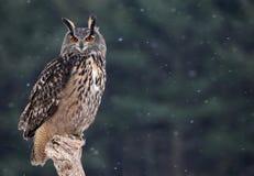 Majestic Eurasian Eagle-Owl Royalty Free Stock Photos