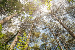 The majestic evergreen pine forest. View from the bottom up Royalty Free Stock Photography