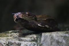 Majestic exotic snake in detail capture with a rocky area Royalty Free Stock Images