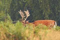 Majestic fallow deer buck Royalty Free Stock Images