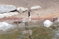 Majestic Fellow, Beautiful Goose on A Pond. This majestic fellow, a beautiful Canadian Goose, stand in a shallow pond in Idaho Stock Images