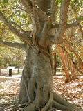 Majestic fig tree-Biscayne Bay Park. Beautiful, Old fig tree in Biscayne Bay National Park, Florida, set in a leaf-strewn park with other trees with dappled Stock Photos