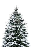 Majestic Fir tree Stock Image