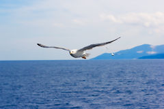Majestic flight of seagull Stock Photos
