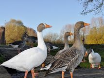 The majestic geese