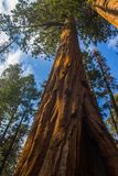 Majestic Giant Sequoia Redwood tree Stock Images