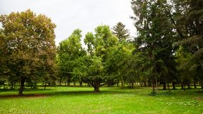 Natural tree park. Majestic ginkgo tree with wide tree-top in the center of a natural park Stock Images