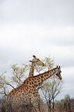 Majestic Giraffe Royalty Free Stock Photos