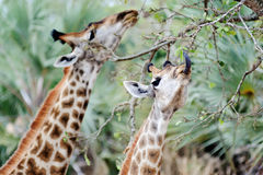 Majestic Giraffe royalty free stock images