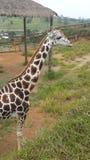 Majestic giraffe Royalty Free Stock Photos