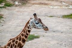 Majestic Giraffe. In the wild royalty free stock image