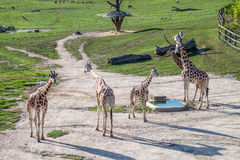 Majestic Giraffe. In the wild stock photography