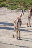 Majestic Giraffe. In the wild royalty free stock photos