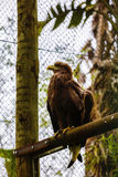 majestic golden eagle Royalty Free Stock Photos