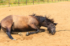 Majestic graceful brown horse lying in meadow. Royalty Free Stock Photos