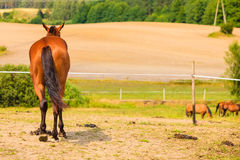 Majestic graceful brown horse in meadow. Stock Photo