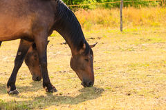 Majestic graceful brown horse in meadow. Royalty Free Stock Images