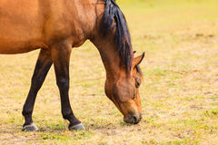 Majestic graceful brown horse in meadow. Royalty Free Stock Image