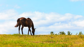 Majestic graceful brown horse in meadow. Royalty Free Stock Photography
