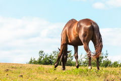 Majestic graceful brown horse in meadow. Stock Images
