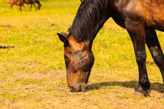 Majestic graceful brown horse in meadow. Stock Image