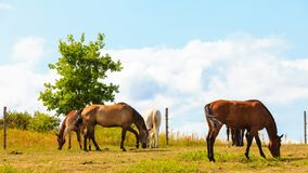 Majestic graceful brown horses in meadow. Royalty Free Stock Photo