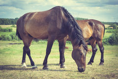 Majestic graceful brown horses in meadow. Royalty Free Stock Images