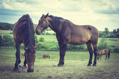 Majestic graceful brown horses in meadow. Stock Images
