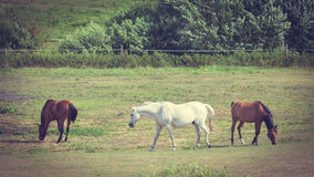 Majestic graceful brown horses in meadow. Royalty Free Stock Photos