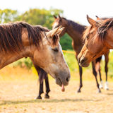 Majestic graceful brown horses in meadow. Stock Image