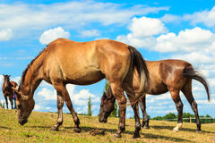 Majestic graceful brown horses in meadow. Royalty Free Stock Image