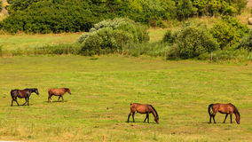 Majestic graceful brown horses in meadow. Stock Photo