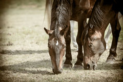 Majestic graceful brown horses in meadow. Royalty Free Stock Photography
