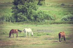 Majestic graceful horses in meadow. Royalty Free Stock Photography