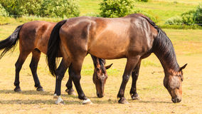 Majestic graceful horses in meadow. Royalty Free Stock Images