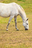 Majestic graceful white horse in meadow. Royalty Free Stock Photos