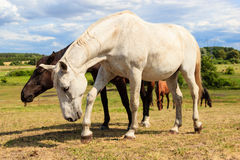 Majestic graceful white horse in meadow. Stock Photography