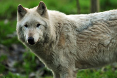 Majestic Gray Wolf Stock Photography