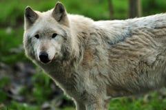 Majestic Gray Wolf Stock Photography