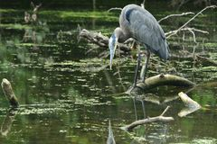 Majestic Great Blue Heron Poised to Strike royalty free stock images