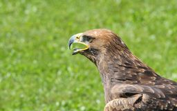 Majestic Great Eagle and opens the berk Royalty Free Stock Photos