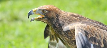Majestic Great Eagle and opens the berk ready to fly Royalty Free Stock Image